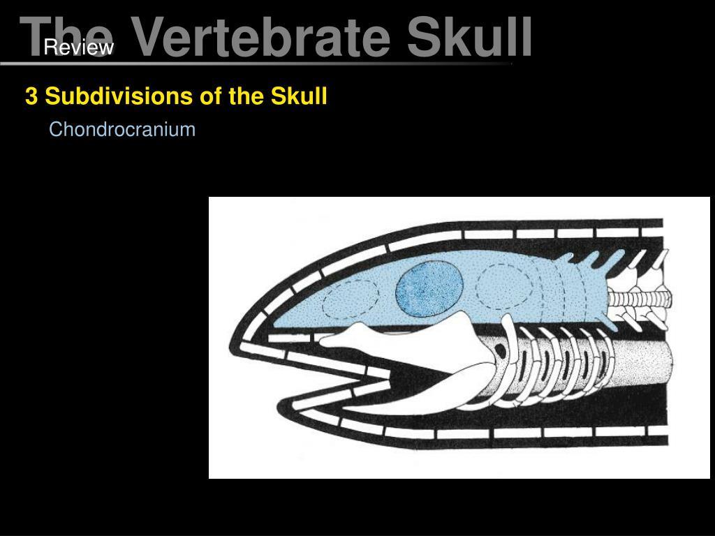 Ppt The Vertebrate Skull Powerpoint Presentation Free
