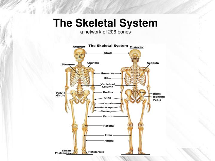 Ppt The Skeletal System A Network Of 206 Bones Powerpoint