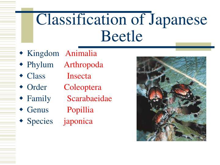 Classification of Japanese Beetle