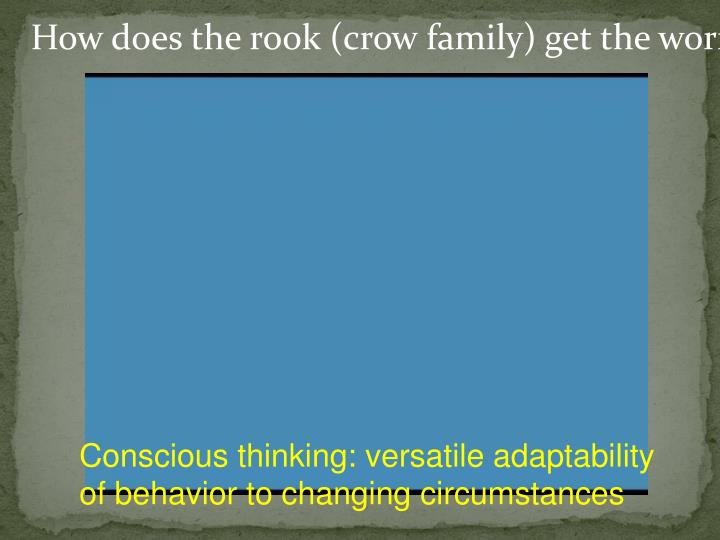 How does the rook (crow family) get the worm?