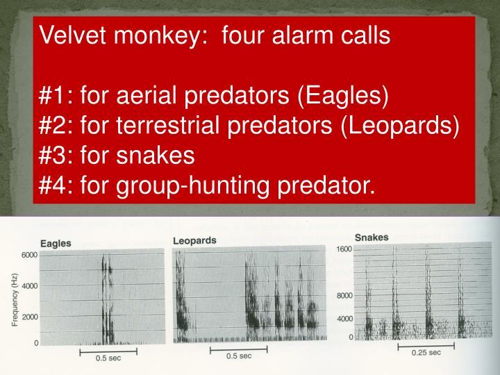 Velvet monkey:  four alarm calls