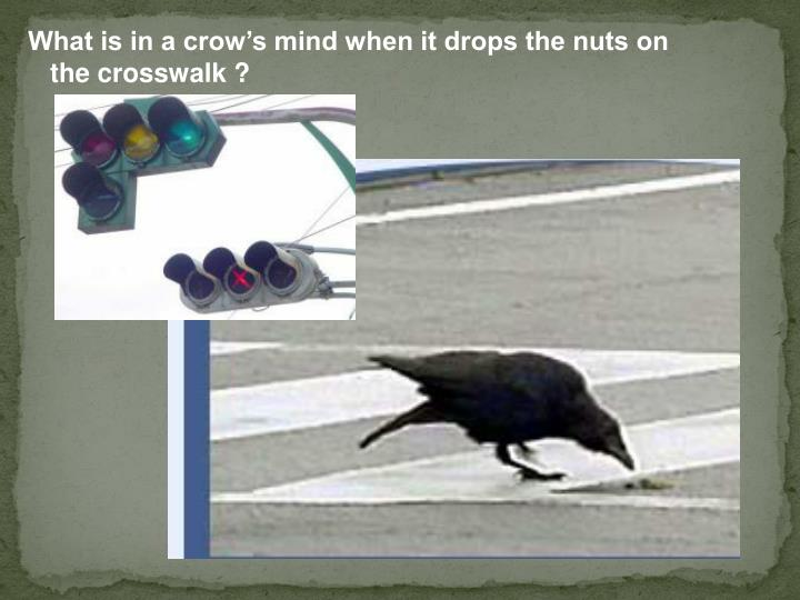 What is in a crow's mind when it drops the nuts on