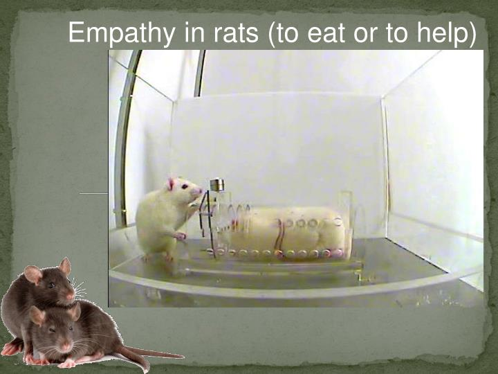 Empathy in rats (to eat or to help)