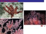 red algae rhodophyta