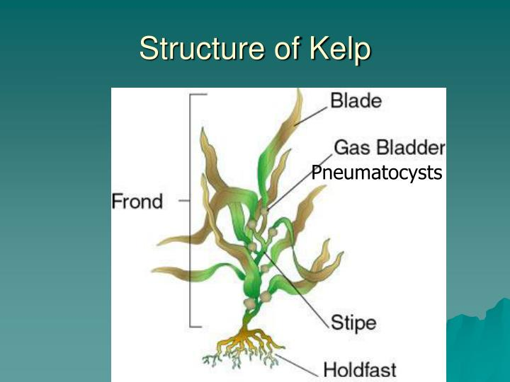 Structure of kelp
