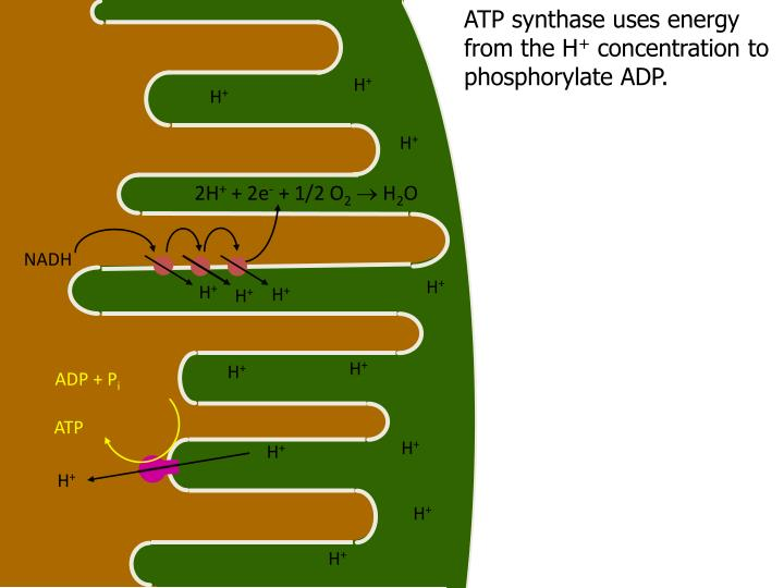 ATP synthase uses energy from the H