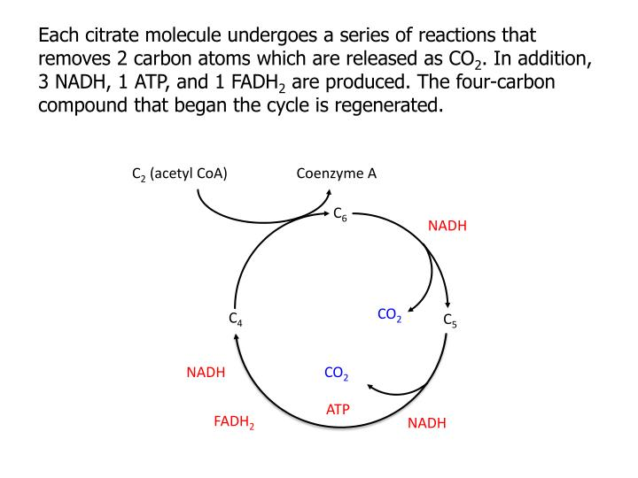 Each citrate molecule undergoes a series of reactions that removes 2 carbon atoms which are released as CO