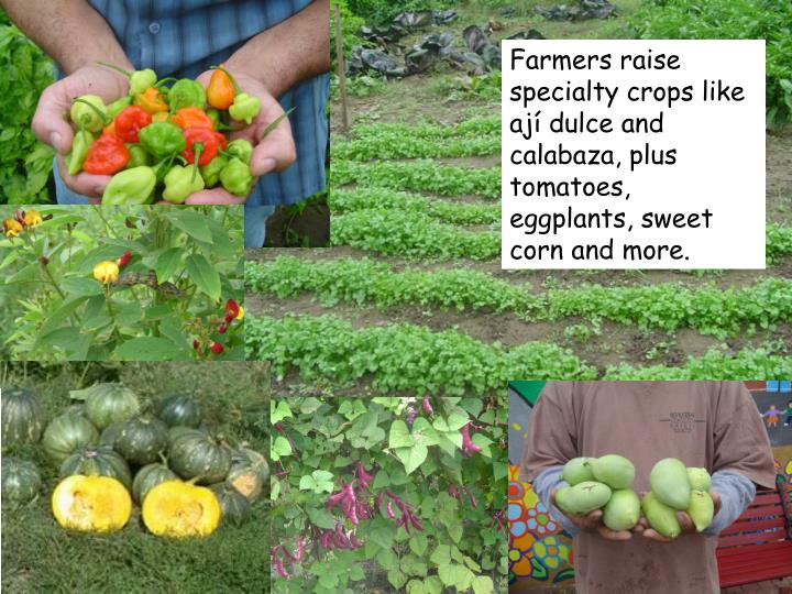 Farmers raise specialty crops like ají dulce and calabaza, plus tomatoes, eggplants, sweet corn and more.