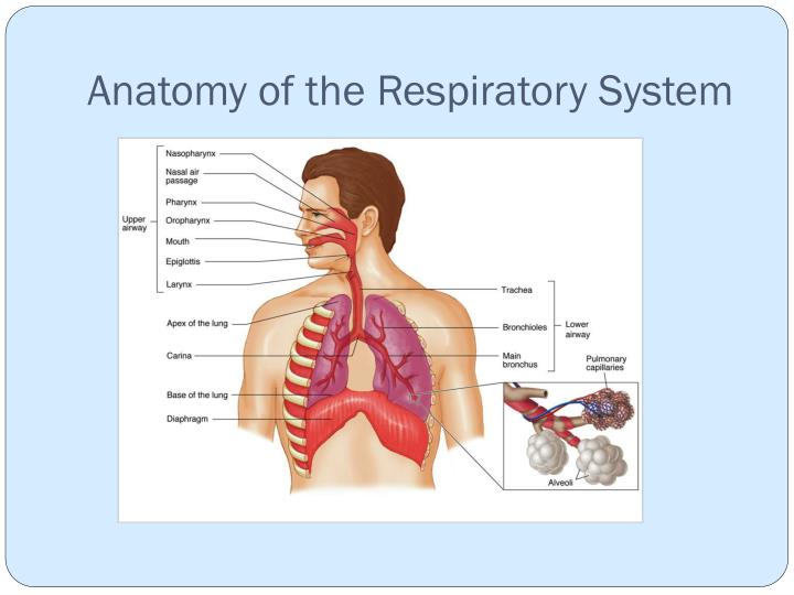 anatomy of the respiratory system review sheet execrise 36 (b) cellular respiration glucose broken down, removal of hydrogen ions and electrons by dehydrogenase enzymes releasing atp (i) the role of atp in the transfer of.