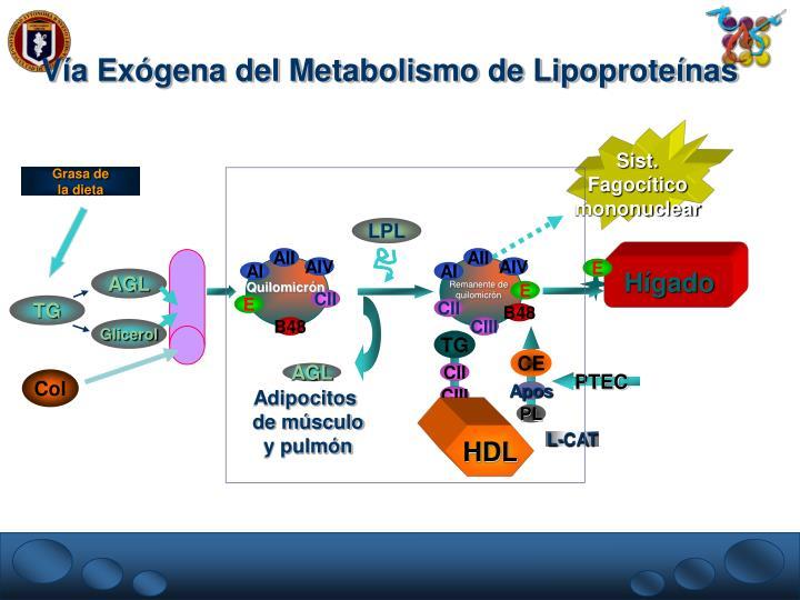 Vía Exógena del Metabolismo de Lipoproteínas