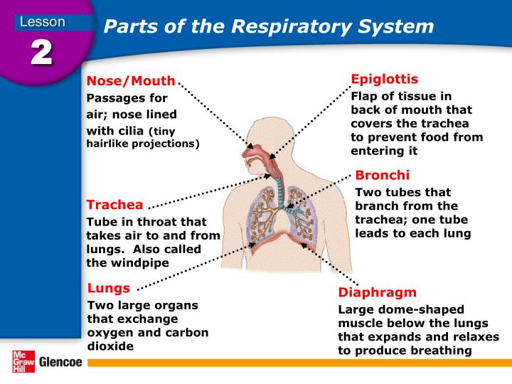 Parts Of The Respiratory System N