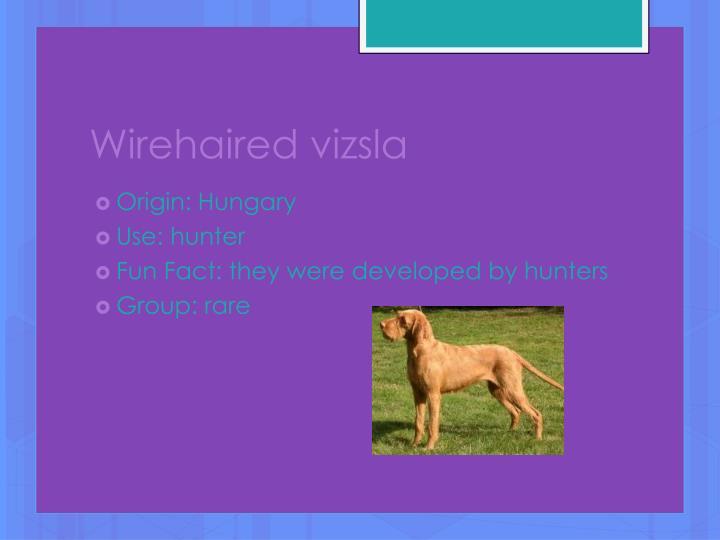 Wirehaired vizsla
