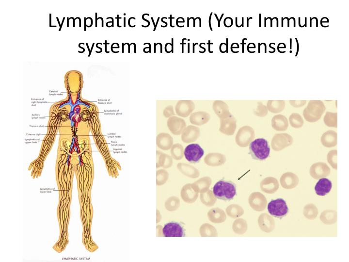 PPT - Lymphatic System (Your Immune system and first defense ...