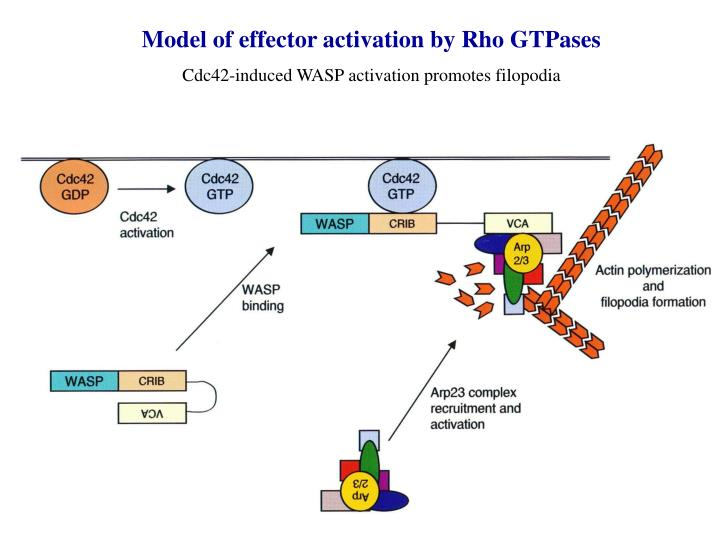 Model of effector activation by Rho GTPases