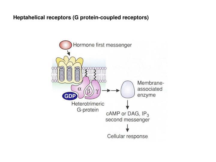 Heptahelical receptors (G protein-coupled receptors)
