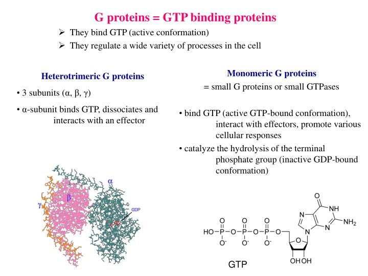 G proteins = GTP binding proteins