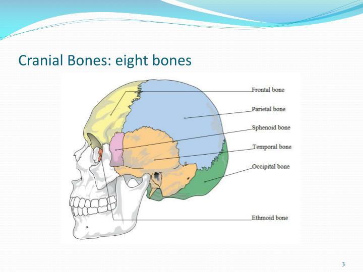 Cranial bones eight bones