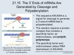 21 15 the 3 ends of mrnas are generated by cleavage and polyadenylation