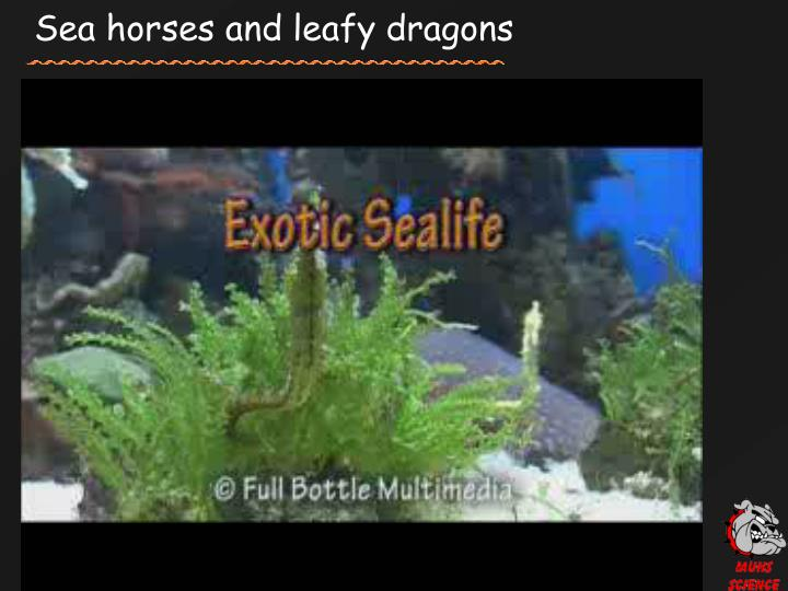 Sea horses and leafy dragons
