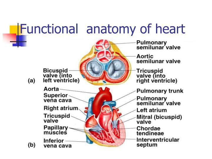 Ppt Cardiac Cycle Powerpoint Presentation Id5580312