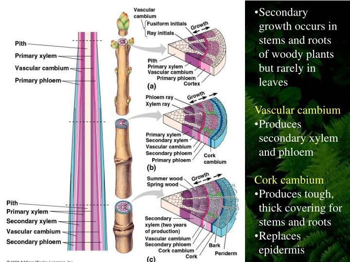 overview of cork cambium essay Cork cambium return a cork cambium is a lateral meristem which generates the periderm of woody stems and roots in three dimensions, it forms a hollow cylinder with secondary phloem to the inside and cork tissue outside.