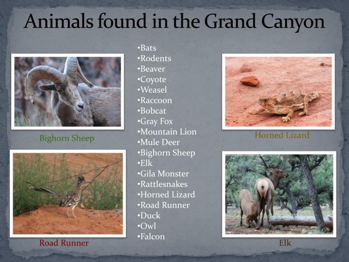 Animals found in the Grand Canyon