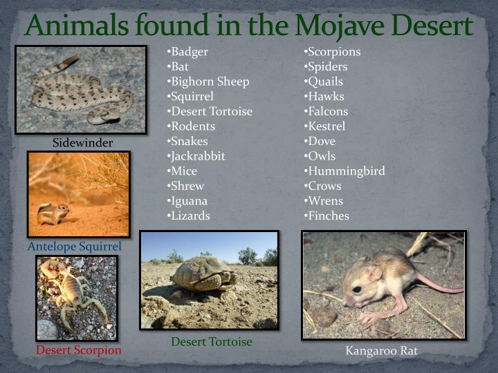 Animals found in the Mojave Desert