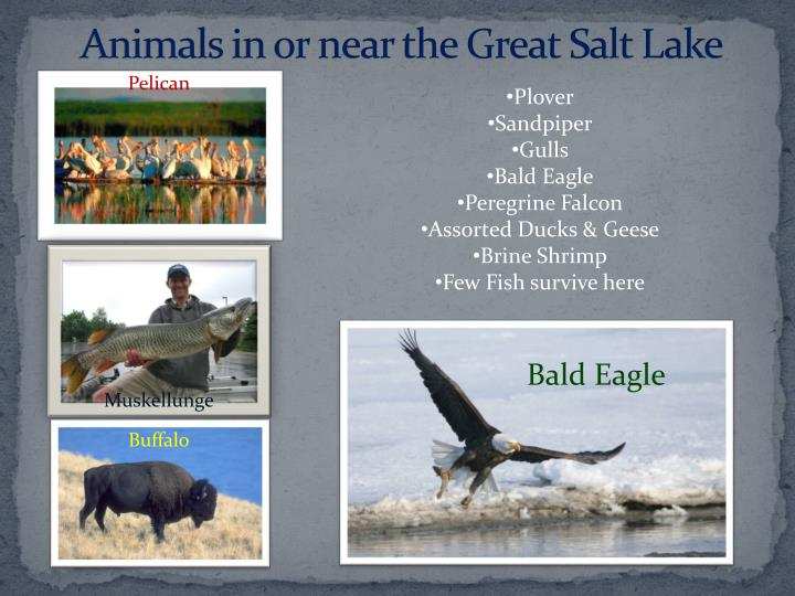 Animals in or near the Great Salt Lake