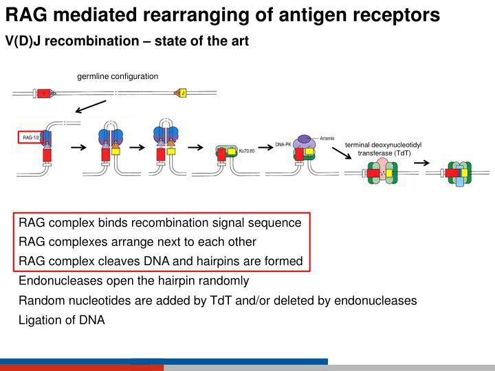 RAG mediated rearranging of antigen receptors