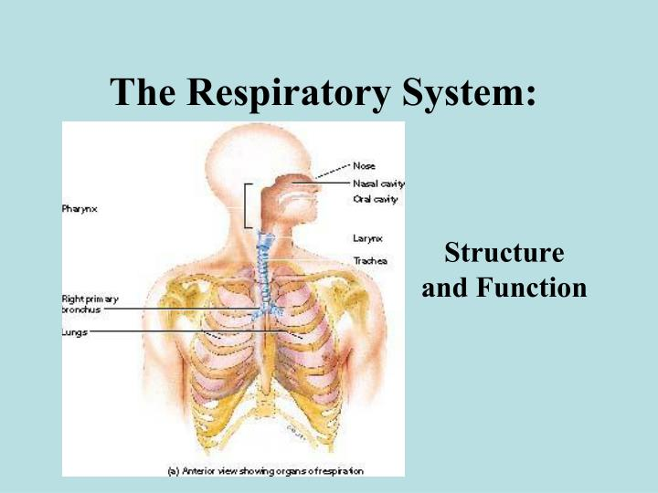 Ppt The Respiratory System Powerpoint Presentation Id5588316