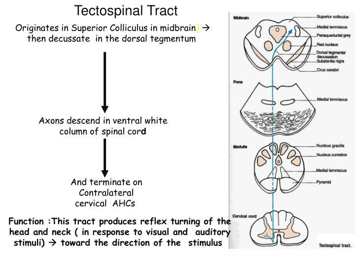 Tectospinal