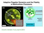 adaptive flagellar dynamics and the fidelity of multicellular phototaxis