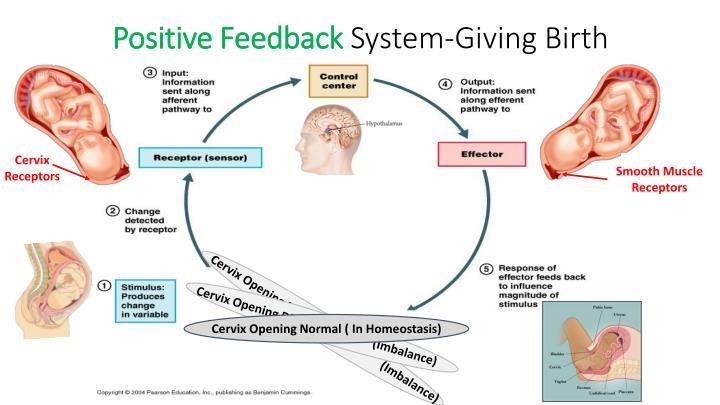 Positive Feedback Loop Childbirth PPT - Organization of ...