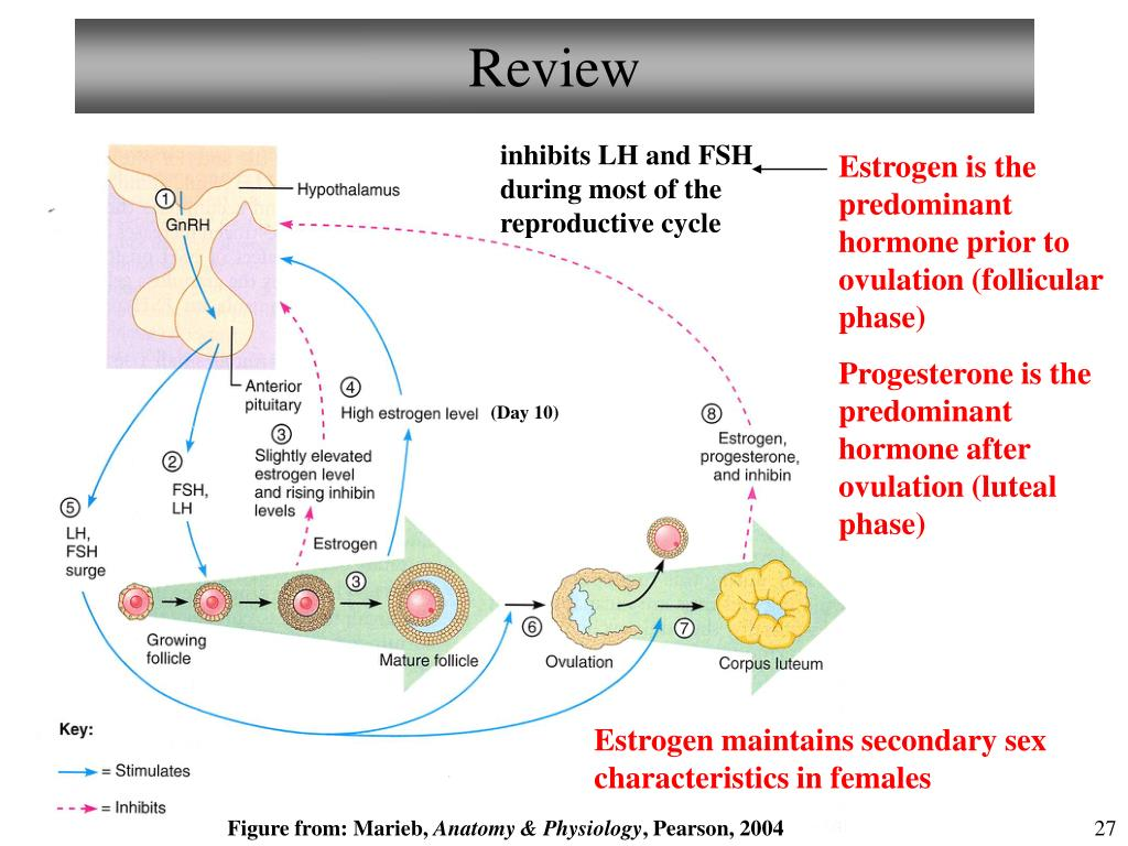 Ppt - Chapter 25 Reproductive System  Female Ii Lecture 23 Powerpoint Presentation -9617