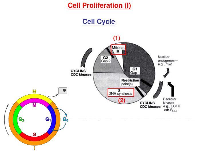 Cell Proliferation (I)