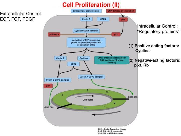 Cell Proliferation (II)