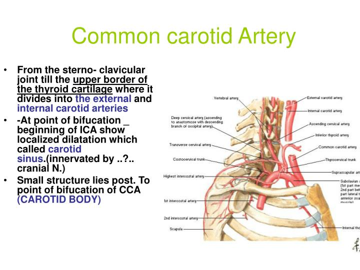 PPT - The Anatomy of Head & Neck BY: DR. Yahya H. Alfarra Faculty of ...