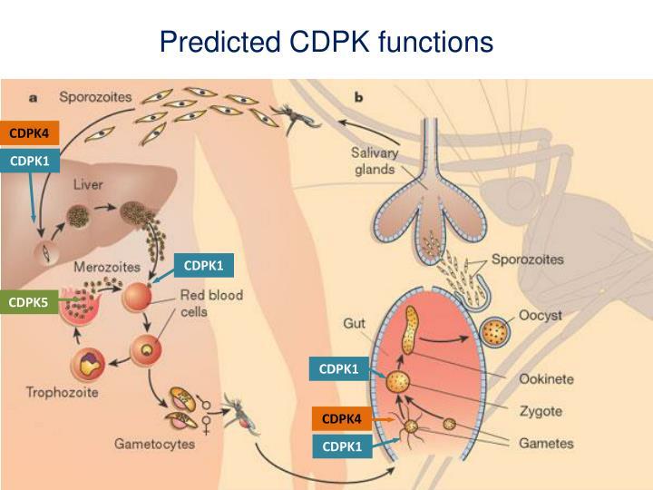 Predicted CDPK functions