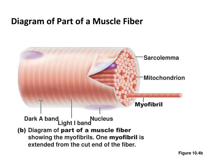 Ppt Skeletal Muscle Tissue Powerpoint Presentation Id5601500