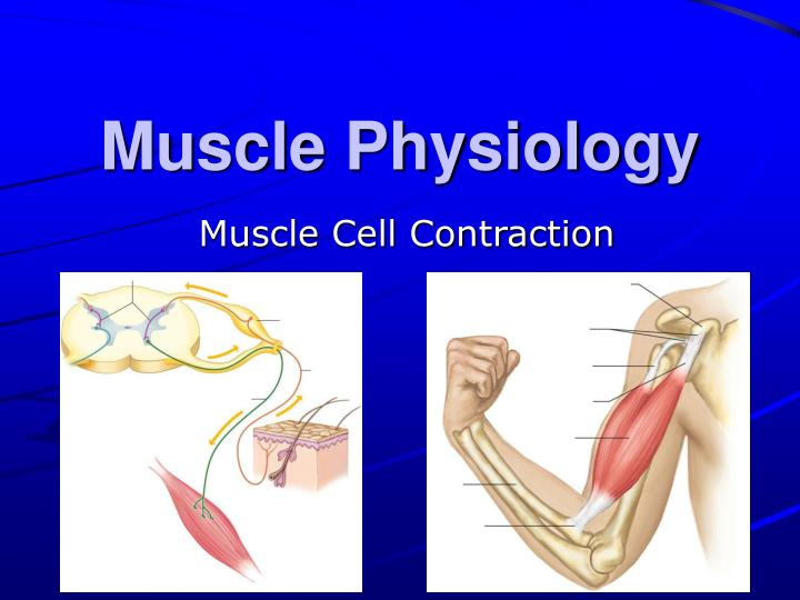 physiology of muscle contraction Initiation of muscle contraction step 1) neuromuscular control the axons of the nerve cells of the spinal cord branch and attach to each muscle fiber forming a neuromuscular junction.