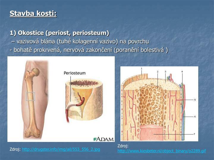 Stavba kosti: