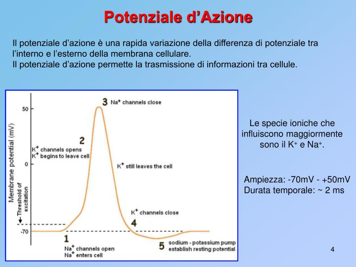 Il potenziale d'azione è una rapida variazione della differenza di potenziale tra l'interno e l'esterno della membrana cellulare.