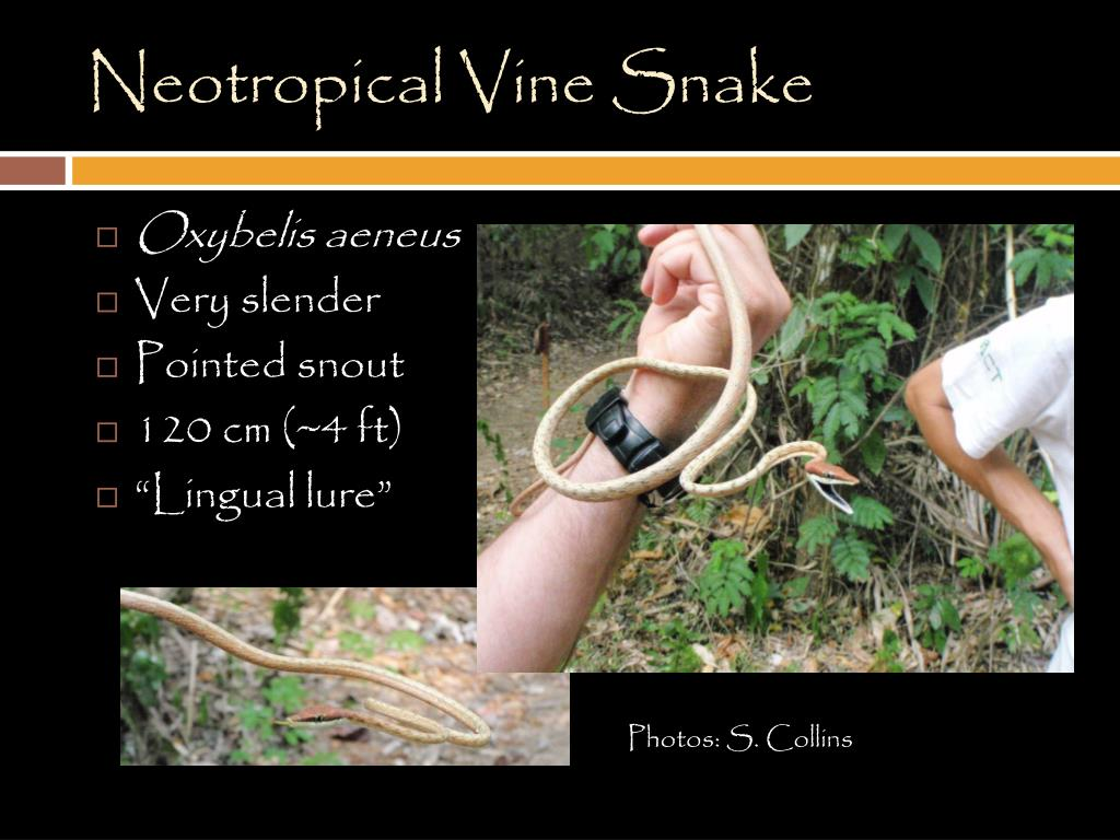 PPT - Reptiles of Belize PowerPoint Presentation - ID:5608691
