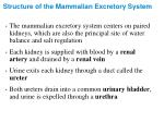 structure of the mammalian excretory system