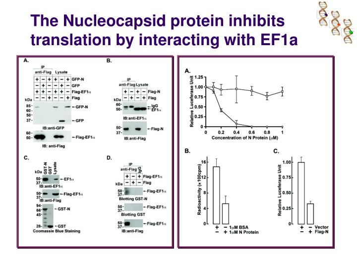 The Nucleocapsid protein inhibits translation by interacting with EF1a
