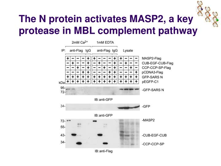 The N protein activates MASP2, a key