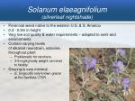 solanum elaeagnifolium silverleaf nightshade