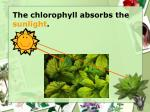 the chlorophyll absorbs the sunlight
