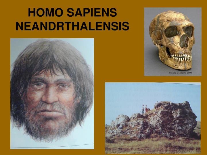 HOMO SAPIENS NEANDRTHALENSIS