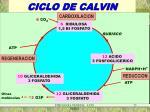 ciclo de calvin1
